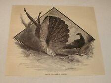 1886 magazine engraving~ ARGUS PHEASANT IN MATING DISPLAY
