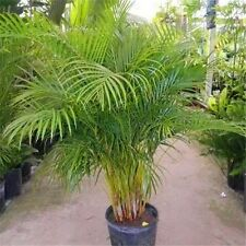 30 Seeds  Palm Bamboo Seeds Indoor plants  Home Garden Tree