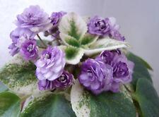 African Violet Winnie Woo plant