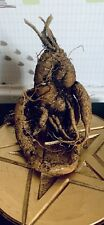 More details for mandrake | mandragora (medium size) 'i think of you' - whole root. alter. wiccan