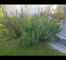 100 Samen (quasi) Bio Gewürz Heilpflanze Saatgut Rosmarin Saat #16