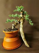 Bonsai tree Tanuki needle juniper us  starter project semi trained