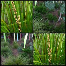7 Lomandra Little Pal Dwarf Native Grasses Plants Flowering Hardy confertifolia