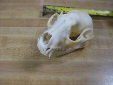 #1 Quality Raccoon Skull