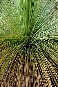 10 x Grass Tree Seeds (Xanthorrhoea preissii) Balga Native