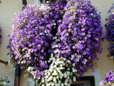 Petunie Blau hängend buschig duftend 1000 ende Blüten  50 Samen