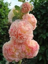 25 Rare Double Salmon Hollyhock Seeds Perennial Giant Flower Garden Plant