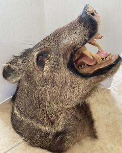 Shoulder Mount Real Wild Boar Pig Hog Warthog