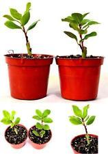 "2 Set Bay Laurel Herb - 4"" Pot Total 2 4"" Pot Aromatic Plant Tree Best Gift New"