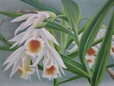 Linden Lindenia Large Print Orchid Thunia Marshalliana - 1888