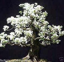 CEREZO De Santa Lucia. Ideal Bonsai. 200 Semillas - Seeds