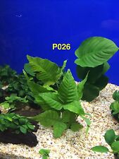 Bolbitis asiatica/heteroclite Potted Live Aquatic Fresh Water Plant P026