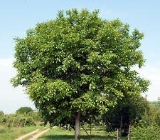 English Walnut Tree (Carpathian) Juglans regia 1-2' Lot Of 10