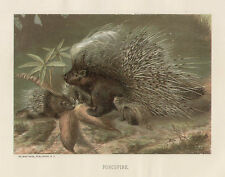 Porcupine Mother & Babies Feeding Chromo Vintage 1898 Antique Art Print