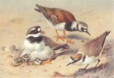 BRITISH BIRDS. Turnstone; Ringed Plover; Kentish Plover. THORBURN 1926 print