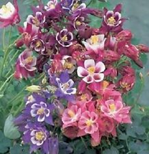 25 Aquilegia Seeds Winky Mix Columbine Seeds