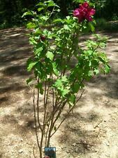 Double Flower Red Althea Rose of Sharon 3 Gal. Large Plant Easy Grow Plants Now!
