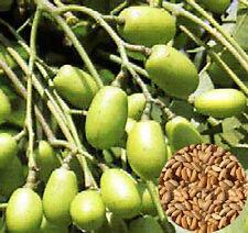 Seeds Azadirachta Indica Nimtree Neem Herb Fresh Rare Indian Lilac Divine Tree