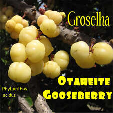 ~GROSELHA~ TAHITIAN GOOSEBERRY Phyllanthus acidus FRUIT TREE 100 RARE SEEDS USA