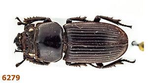 Lucanidae: Nigidius sp.  A1, 15 mm, Mounted, 1 pc