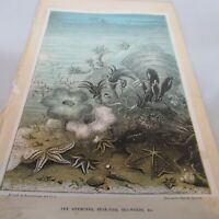 """G. HARTWIG. RARE - 1873 - COPPER ENGRAVED. """"STARFISH, SEA WEED""""  ANTIQUE PRINT."""
