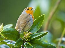 Robin Singing GREETINGS CARD No.2 Steve Greaves Photo Print Christmas Bird Art