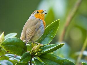 Robin GREETINGS CARD Steve Greaves Photo Print Christmas Bird Wildlife Art Cute