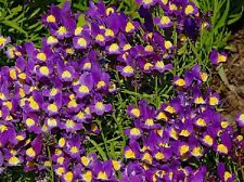 50 Pelleted Linaria Seeds Fantasy Blue Toad Flax FLOWER SEEDS
