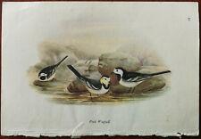 Vintage Bird Print Pied Wagtail / Hedge Sparrow