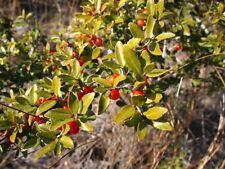 Ilex vomitoria Black Drink, Yaupon Holly, American Yerba Mate 10 seeds