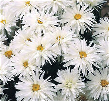 Perennial Chrysanthemum  * CRAZY DAISY *  15 SEEDS Easy To Grow!!
