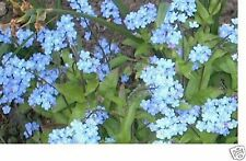Forget-Me-Not- Chinese (Cynoglossum Amabile) - Blue- 500 Seeds