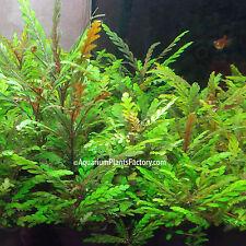 Hygrophila Pinnatifida Potted - Easy Live Aquarium Plants Red Brown Background