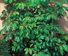 30+ CYPRUS UMBRELLA PLANT SEEDS  ANNUAL FLOWER SEEDS / INDOOR HOUSEPLANT OR OUT