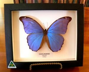 ELECTRIC BLUE GIANT MORPHO BUTTERFLY