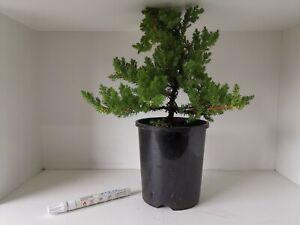 Bonsai Tree - Juniper(30cm Height)