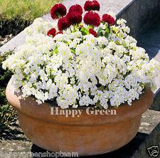 Rock cress blanc-arabis caucasica - 1000 graines rocaille vivace fleur