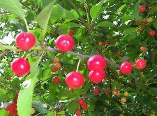 British Columbia Early Richmond Cherry Tree Seeds - High Yielding Juicy Cherries