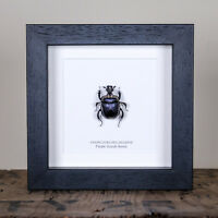 Purple Scarab Beetle in Box Frame (Anoplotrupes Sharpie)  insect taxidermy