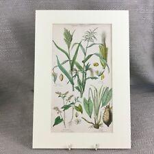 Antique Botanical Print Original Hand Coloured Plants Wheat Maize Corn Millet
