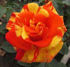 DANCING SUNSET - 5.5lt Potted Climbing Garden Rose -Orange/Yellow Stripe,Repeats