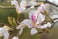 die mehrjährige Zierpflanze WEISSER-ORCHIDEENBAUM eine schöne, Kübelpflanze.