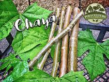 Chaya Cuttings - 5 Fresh Chaya Tree Spinach Cuttings - Cnidoscolus aconitifolius