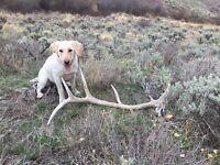 Extra Large Single Split Rocky Mountain Elk Antler Dog Chew Free Shipping!!!!