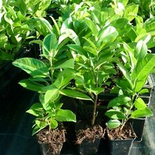 35 x Common Laurel Evergreen Hedging Plants Shrubs Fast Growing 30cm (e260)