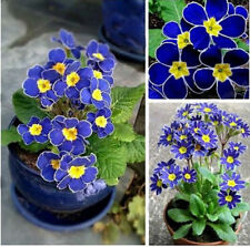 100pcs/bag Blue Primrose Flower Seedd Plant Perennial Rare Various Garden Bonsai