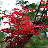 Roter japanischer Fächerahorn 10 PCS Samen Acer-palmatum NEU X6U7