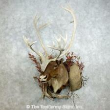 #18383 E | Barren Ground Caribou Taxidermy Shoulder Mount For Sale