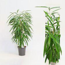 Ficus binn. Alii 100 cm+/- Hoch  , Zimmerpflanze, Büropflanze