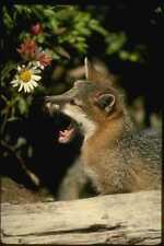 159002 Gray Fox jóvenes Kit A4 Foto Impresión